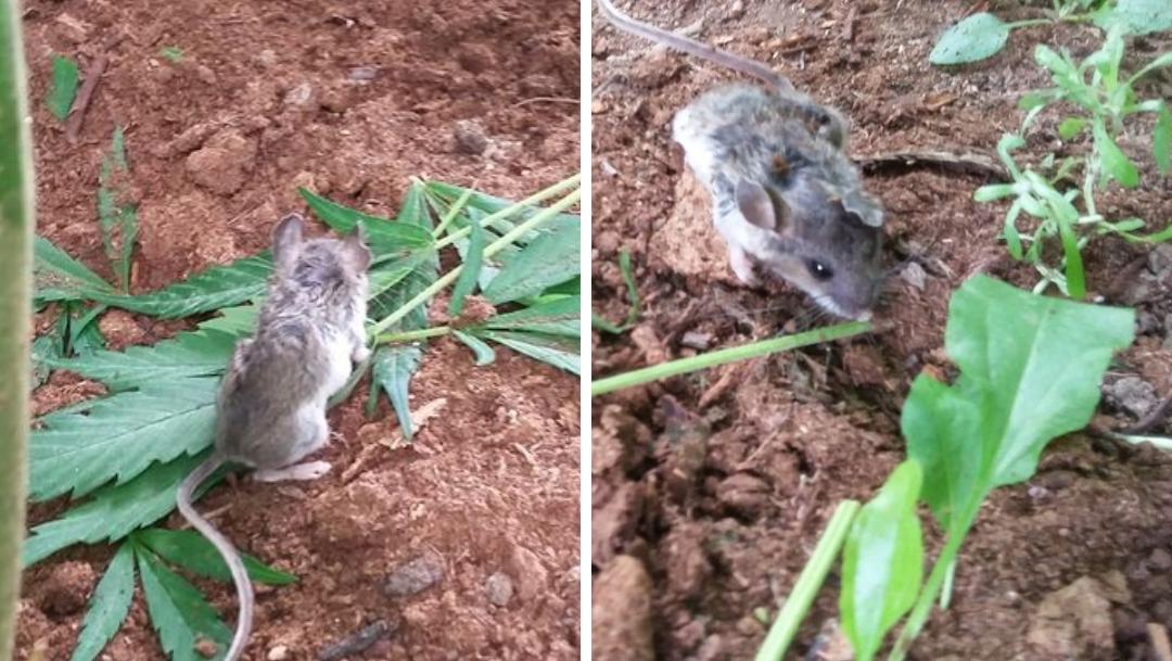 Ratón come hojas de marihuana, se desmaya y se vuelve viral