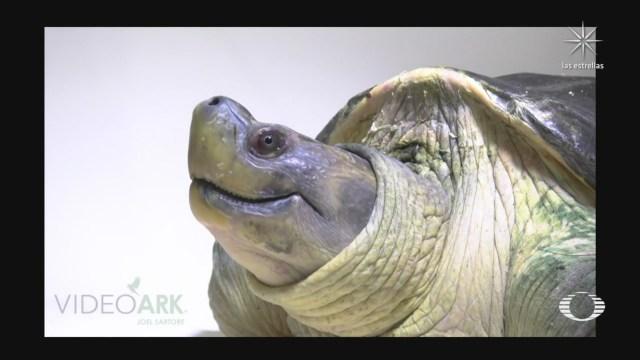 tortuga de techo de birmania se salva de la extincion