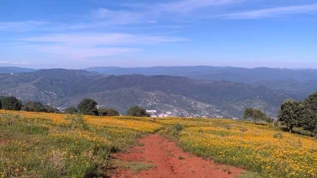 Flor de pericón pinta de amarillo los campos en Guerrero