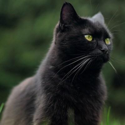 Arranca campaña para evitar sacrificio de gatos negros en Halloween