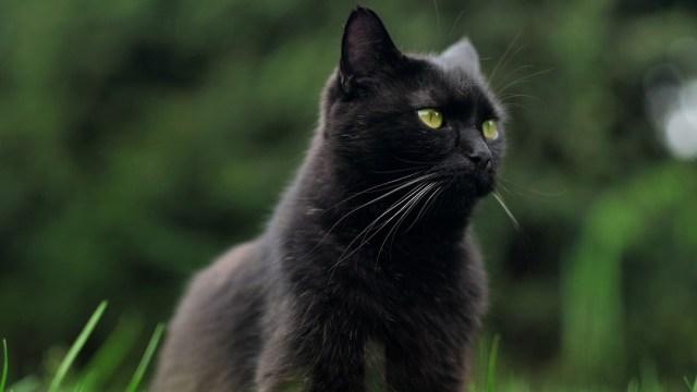 Es el segundo año consecutivo que se organiza campaña para evitar sacrificio de gatos negros en Halloween