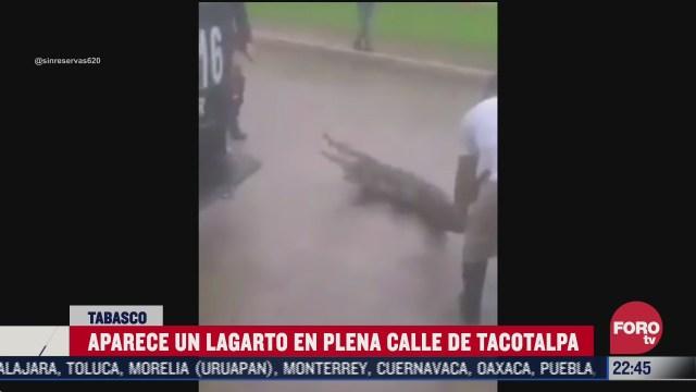 lagarto se pasea en calles de tabasco