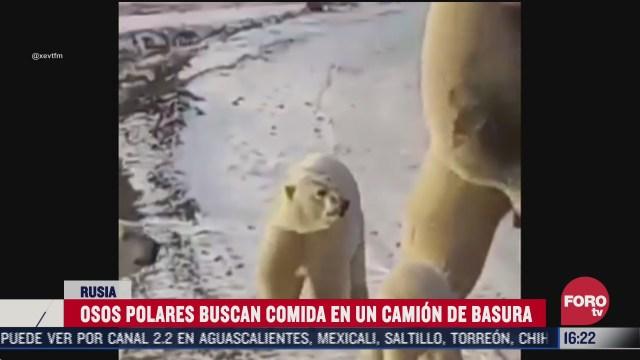 osos polares buscan comida en un camion de basura