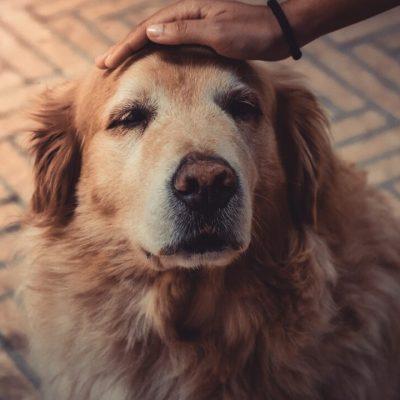 Como los humanos, los perros pasan por una crisis de la mediana edad: Estudio