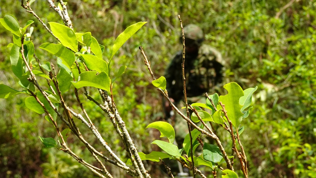 Plantío de coca en Colombia