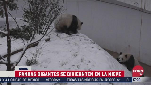 difunden imagenes de pandas jugando en la nieve