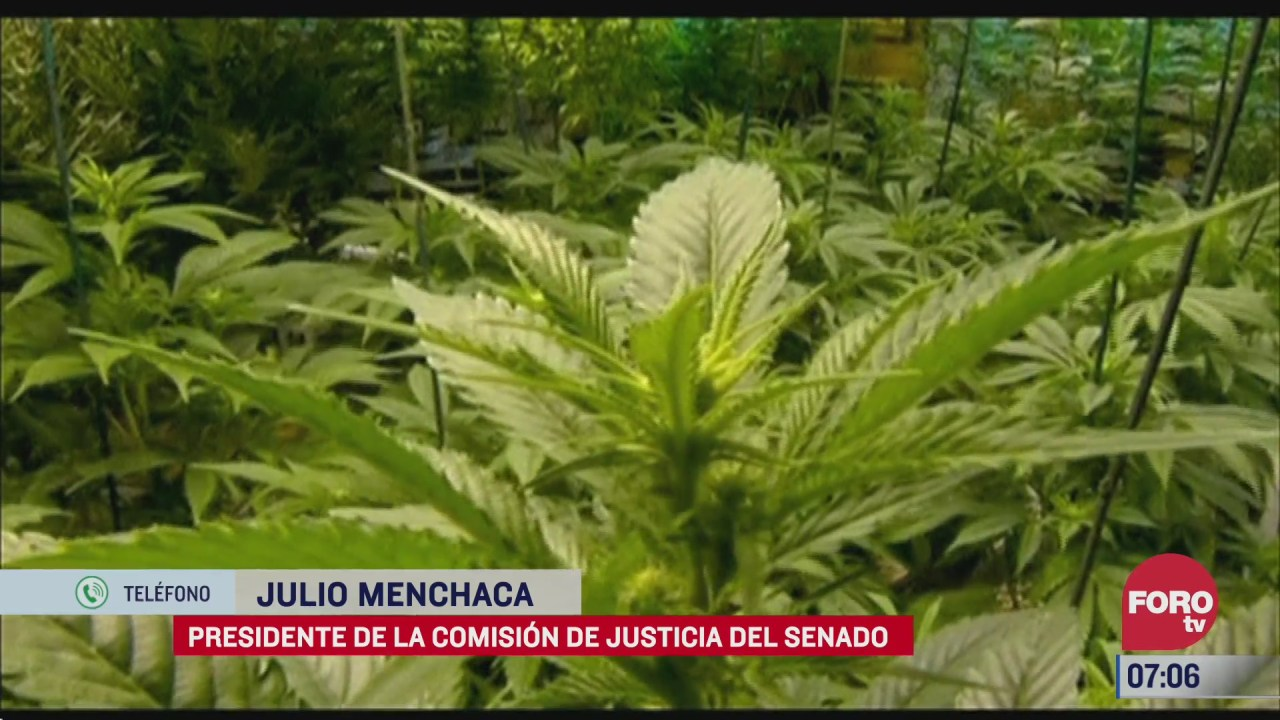 ley de mariguana termina criminalizacion de usuarios dice senador