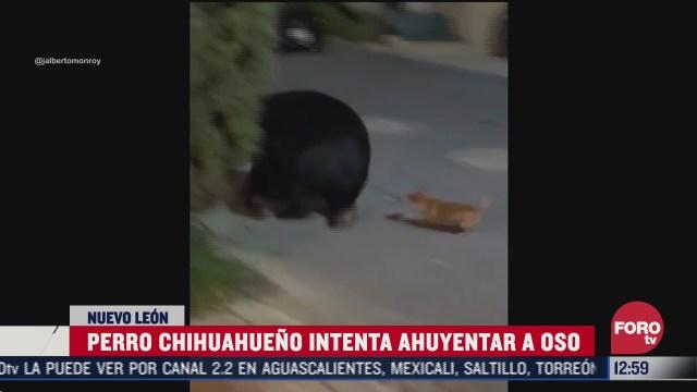 perro chihuahueno intenta ahuyentar a un oso