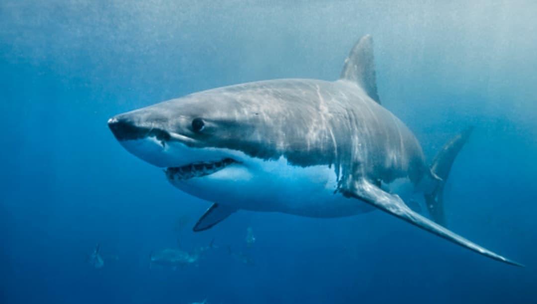 Tiburón ataca y mata a bañista en playa de Australia