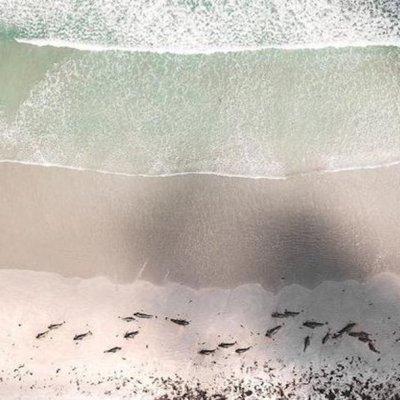 Un centenar de ballenas piloto mueren varadas en Nueva Zelanda