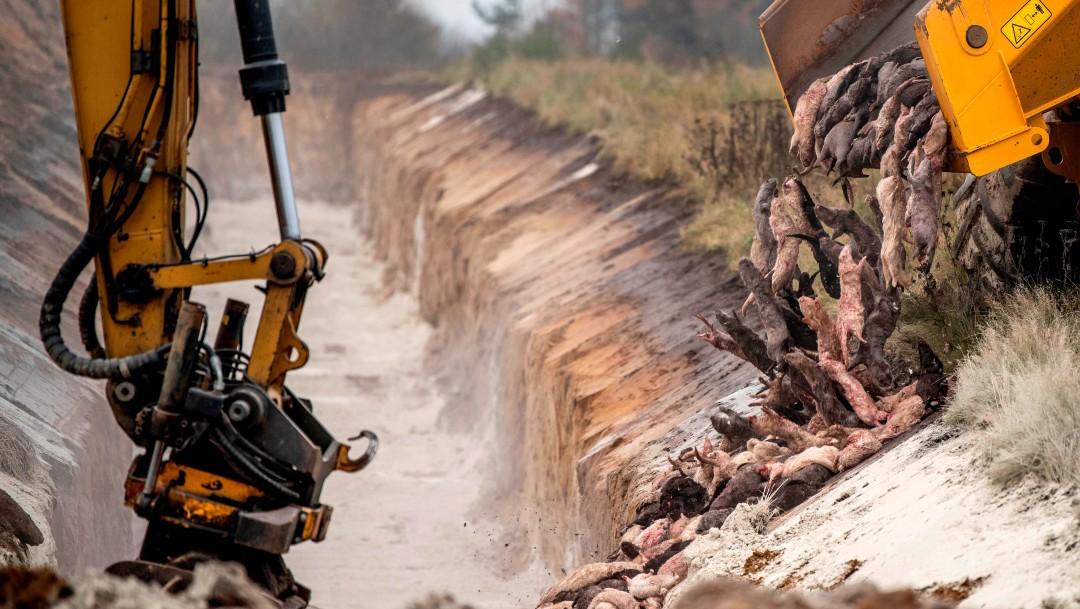 Los visones sacrificados en Dinamarca están emergiendo de la tierra