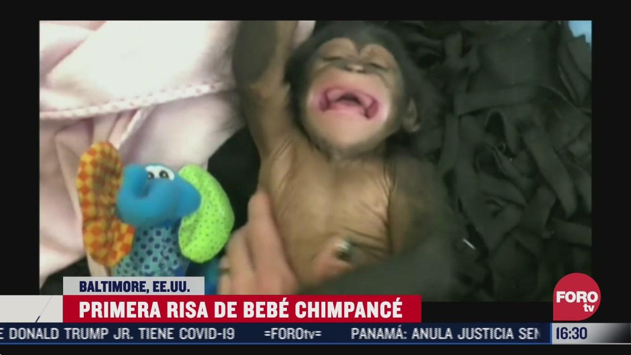 zoologico comparte la primera risa de chimpance bebe