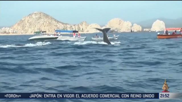 baja california sur recibe a ballenas grises y jorobadas