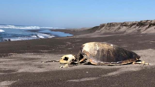 Cientos de tortugas han muerto en playas de Colima