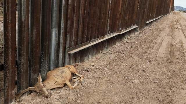 Fauna silvestre, otra víctima del muro fronterizo