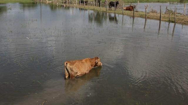 Ganaderos de Tabasco pierden cientos de animales tras inundaciones