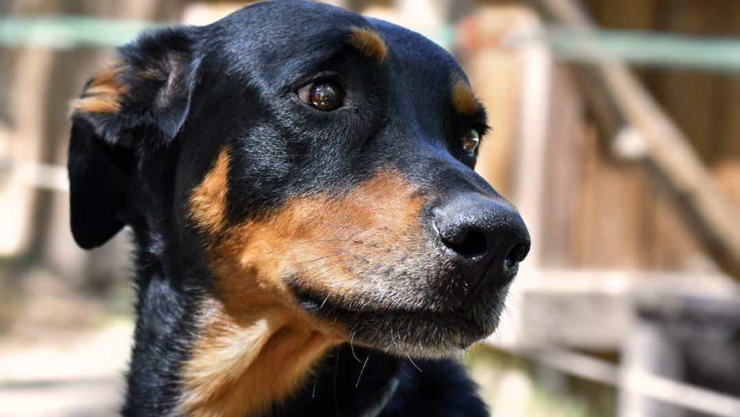 Denuncian a hombre que balaceó a perros en Jilotepec, Edomex