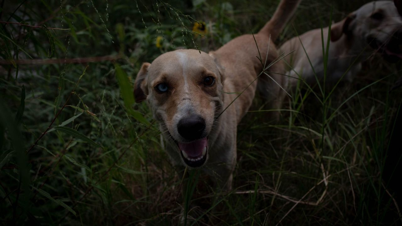 Familias-de-Canadá-adoptan-a-21-perros-rescatados-en-Puebla
