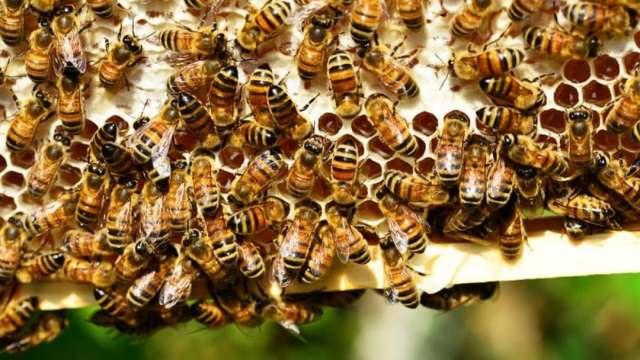 Concluyen Atlas que protege abejas y productores en Yucatán
