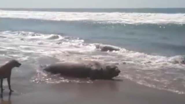 Confirman llegada de segundo elefante marino a Chiapas