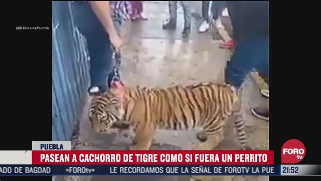 pasean a cachorro de tigre en calles de puebla