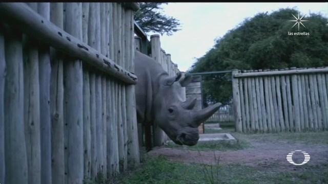 proyecto de reproduccion artificial busca conservar al rinoceronte blanco del norte