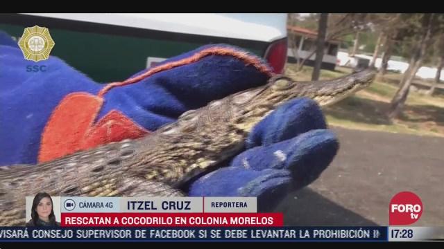 rescatan a cocodrilo bebe en la colonia morelos de la cdmx