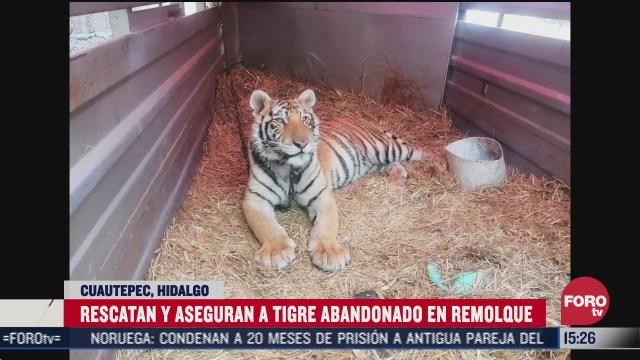 rescatan a tigre encadenado en remolque abandonado de hidalgo