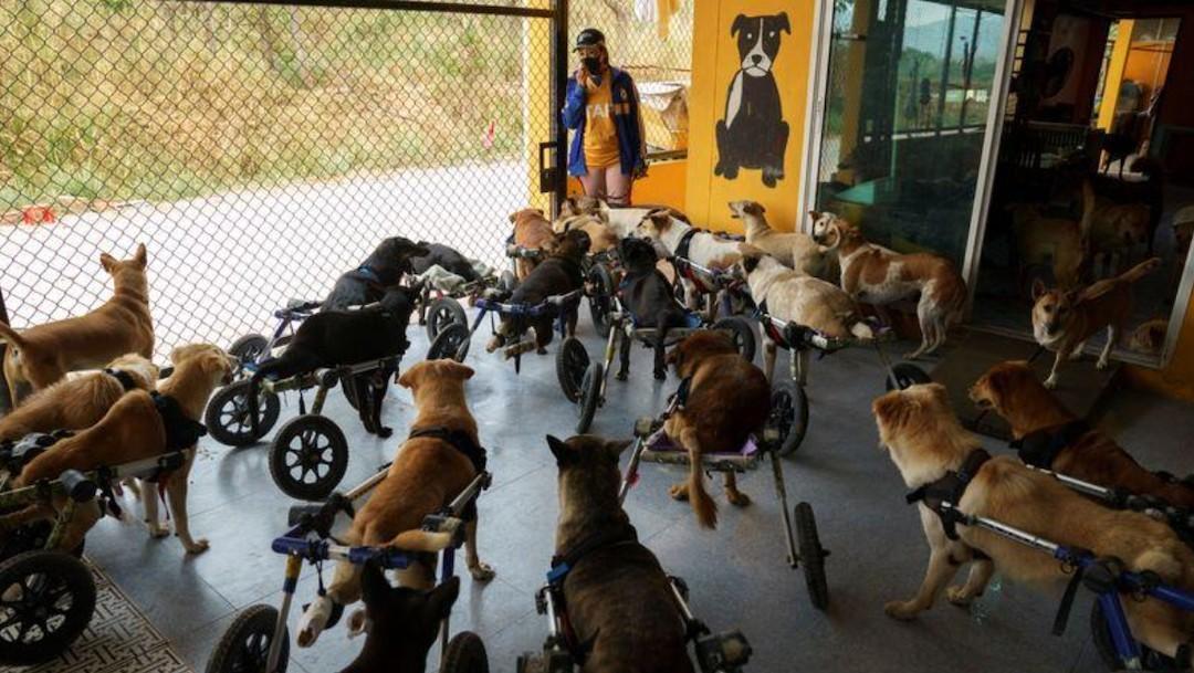 Perros sujetos a ruedas que sostienen sus patas traseras (Reuters)