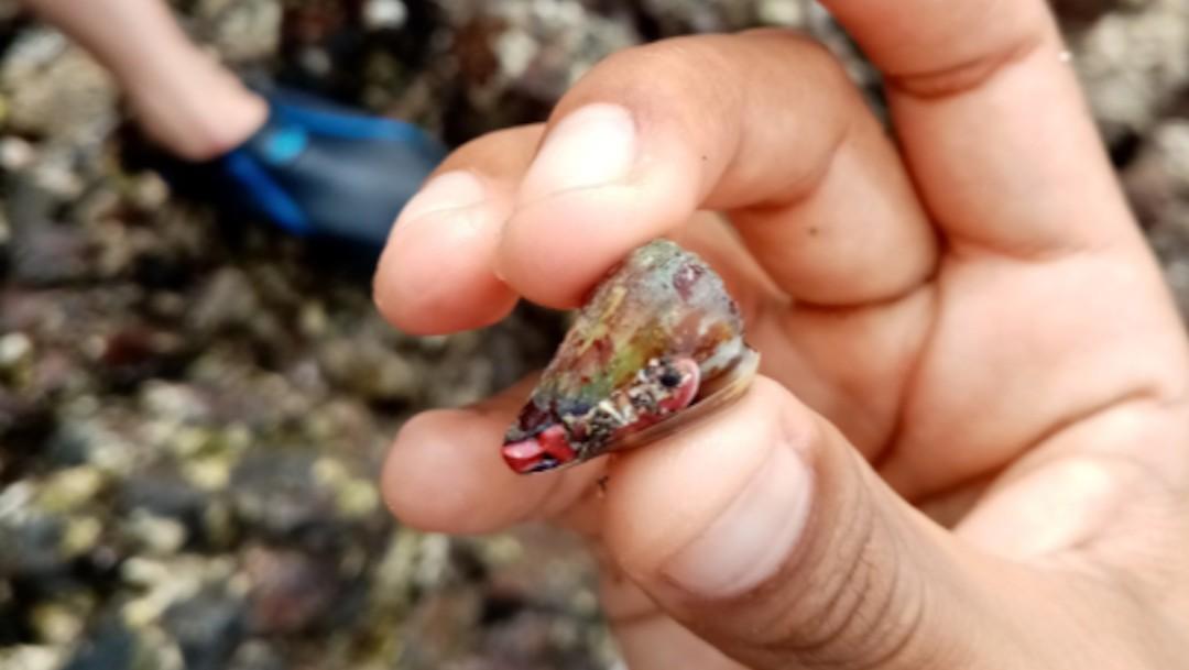 Conus nux, un caracol que tiene una lanceta retráctil con veneno (Twitter: @viogu)