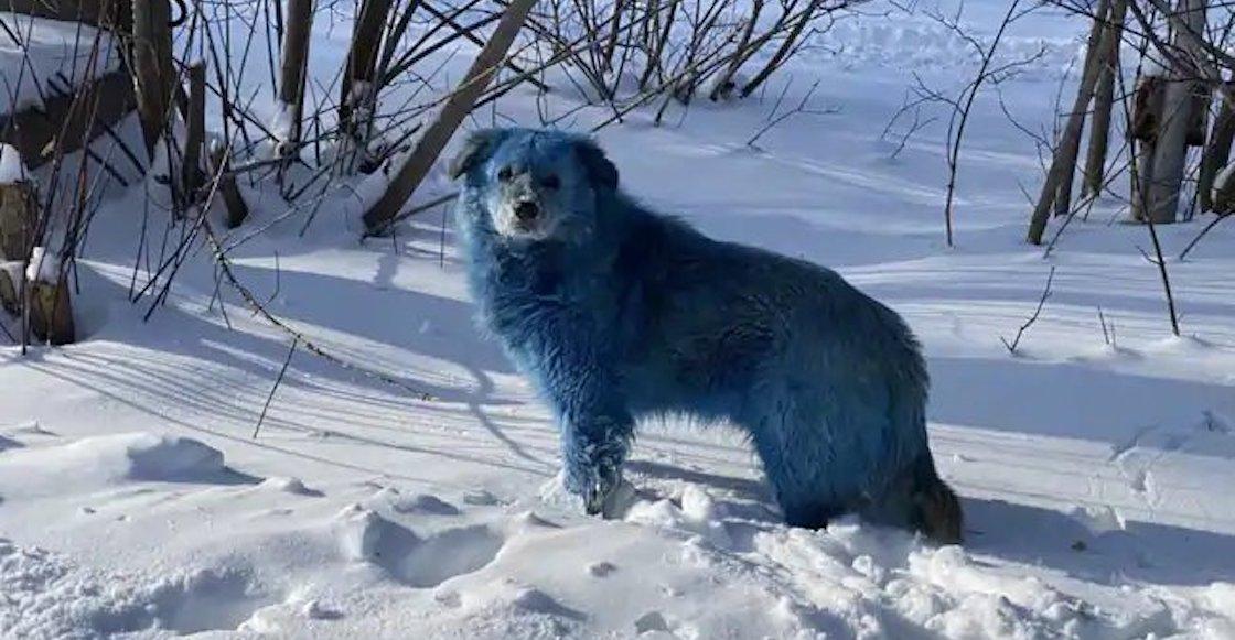 Captan a manada de perros azules en Rusia; autoridades investigarán el caso