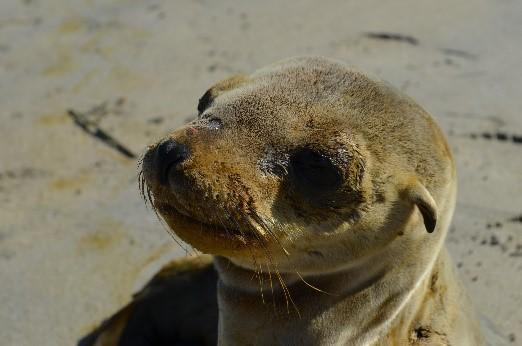 Rescatan cría de lobo marino varado en Baja California