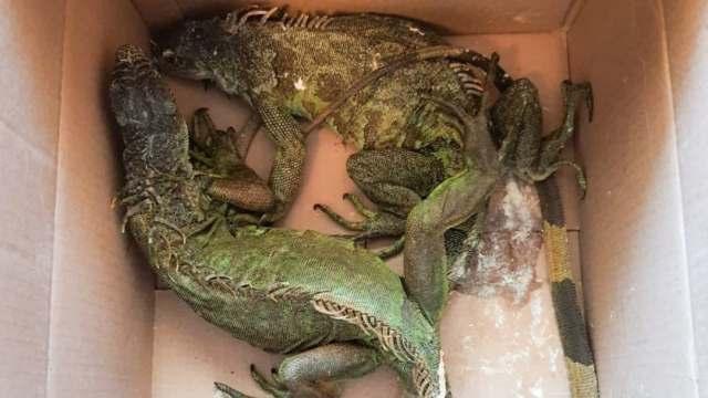 GN decomisa 75 iguanas y otros animales en Puebla