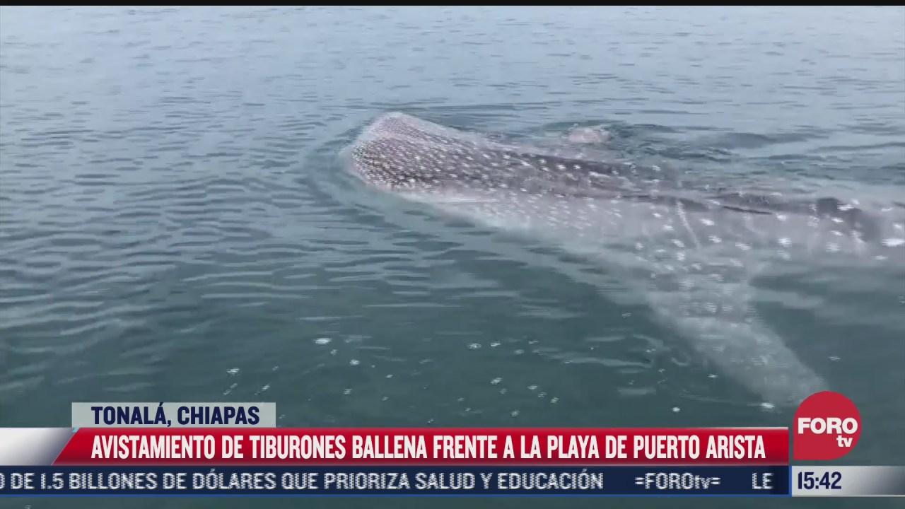 avistan ejemplares de tiburon ballena en puerto arista