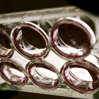Científicos crean 'embriones quimera', de monos con células humanas