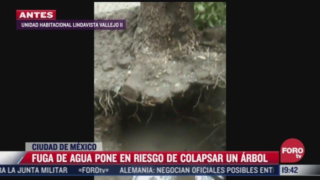 fuga de agua pone en riesgo de colapso a arbol en gustavo a madero