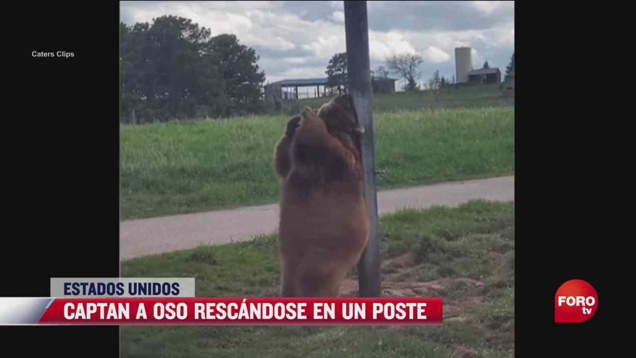 captan a oso rascandose y bailando con un poste