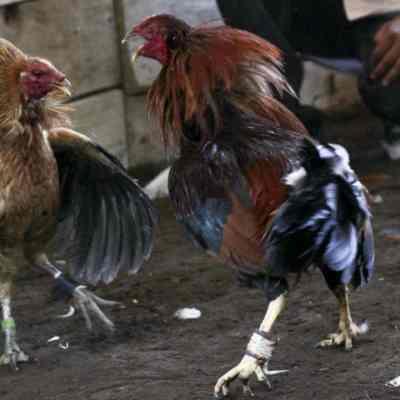 Mueren embarazada y hombre por balacera durante pelea de gallos clandestina en Acapulco