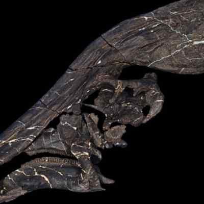 Nueva-especie-de-dinosaurio-Tlatolophus-galorum