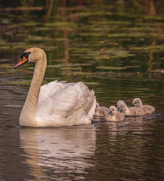 Cisne se hace cargo de sus crías tras muerte de la madre