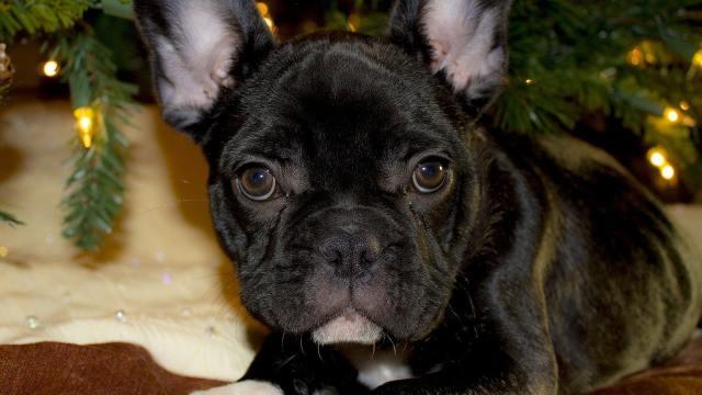 perro bulldog, robo, Irapuato, imagen ilustrativa