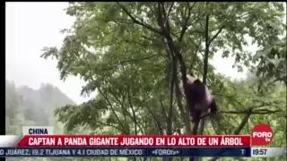 captan a panda gigante jugando en lo alto de un arbol