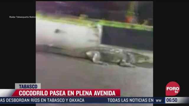 cocodrilo pasea en plena avenida en villahermosa tabasco