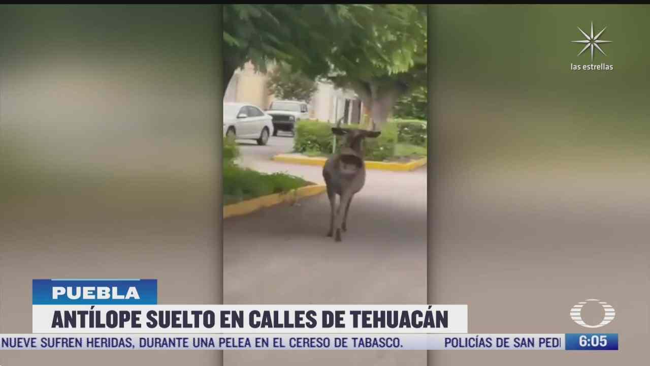 graban a antilope suelto en calles de tehuacan puebla