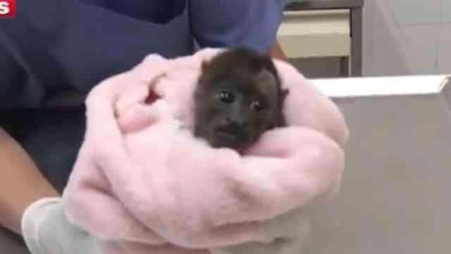 Rescatan cría de mono aullador en la CDMX