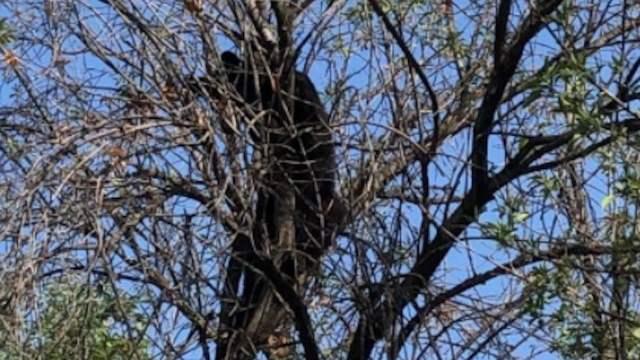 Un oso trepado en un árbol causó la movilización de elementos de Protección Civil en Monterrey (Twitter: @nuevoleon)