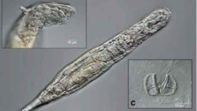 Revive diminuto gusano tras estar congelado 24,000 años en Siberia