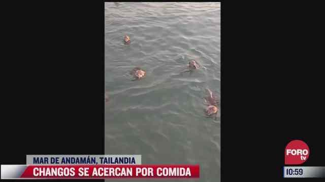 changos se lanzan al mar para recibir comida