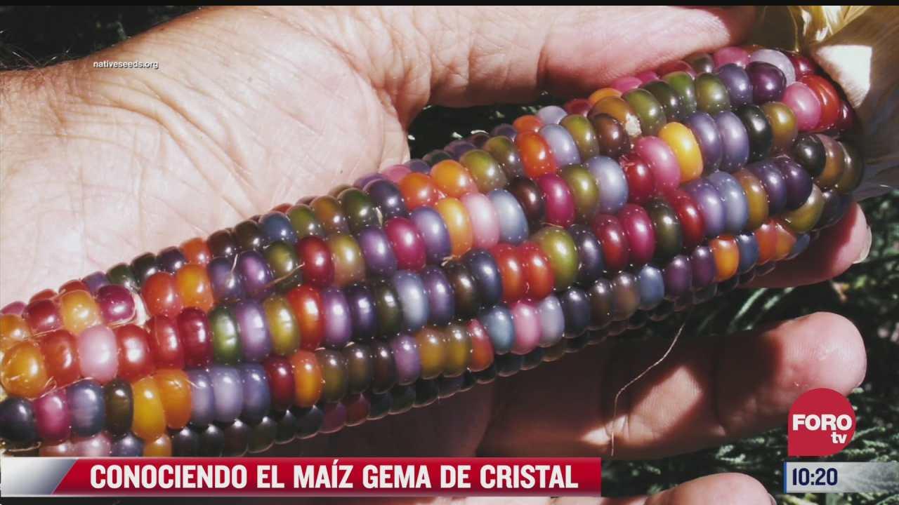 conociendo el maiz gema de cristal
