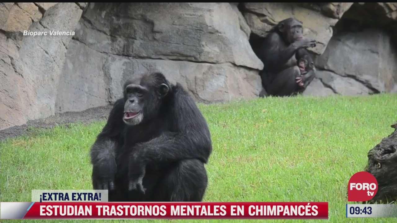 extra extra estudian trastornos mentales en chimpances